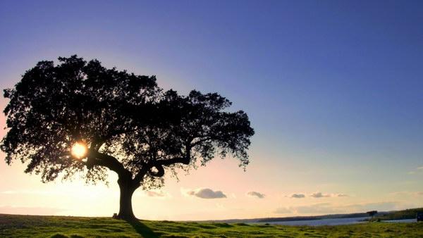 Пробковый дуб на плантациях Granorte